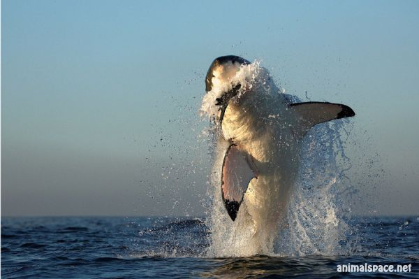 1301067139_white_shark_hunting_by_alfred_georg