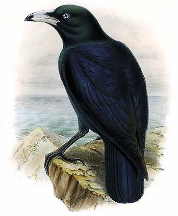Macrocorax_woodfordi