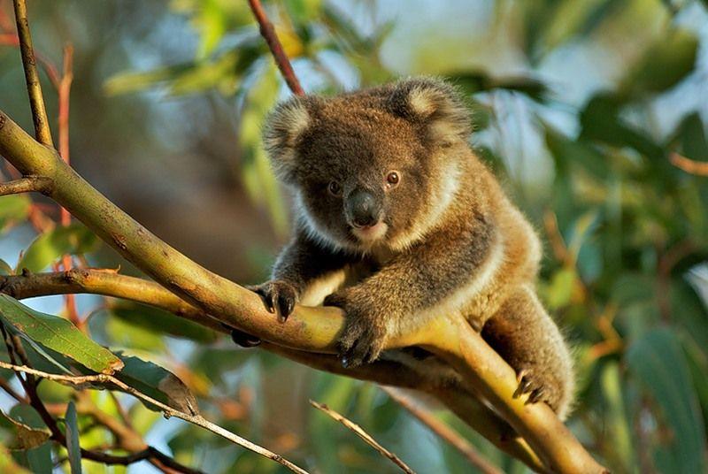 koala-ili-sumchatyj-medved_4_1