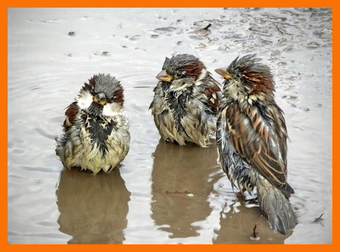 sparrows_11