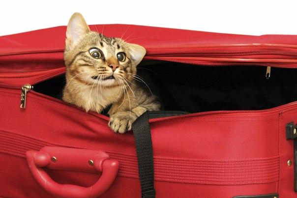 переезд-кошки-красный-чемодан[1]